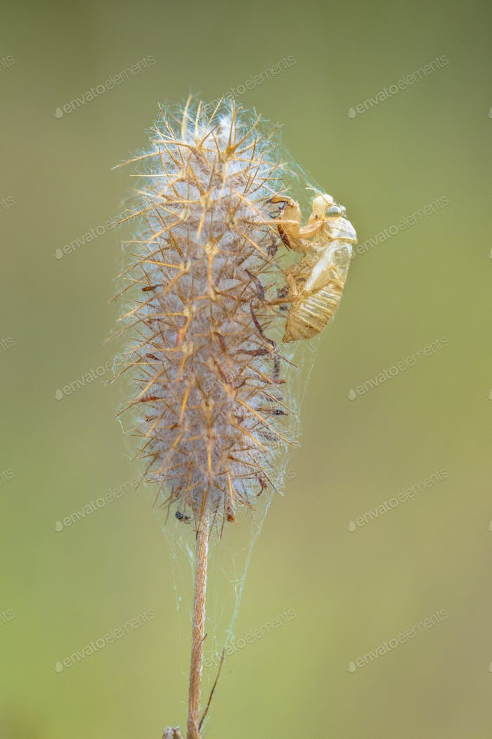Faded flower with cocoon