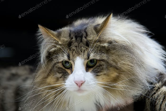 Cat - Norwegian Forest