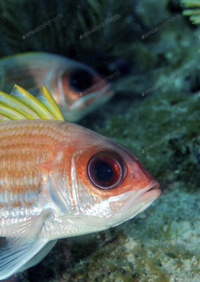 Closeup of a Squirrelfish (Holocentrus adscensionis) on Pillar Coral Patch, Florida Keys National