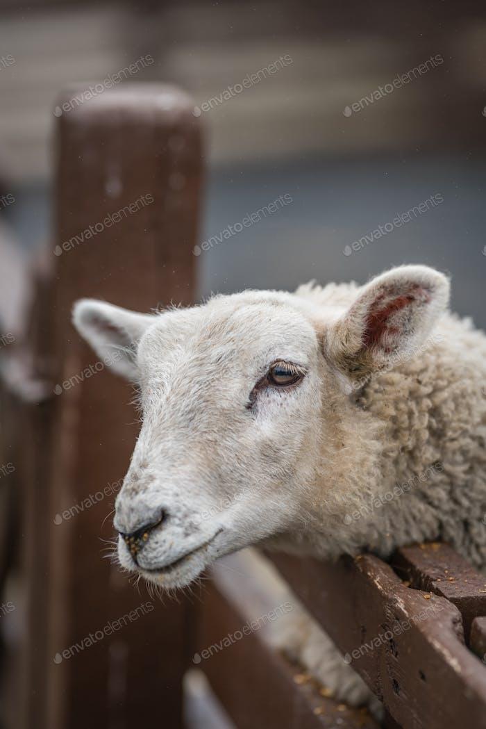 Cute sheep on the farm