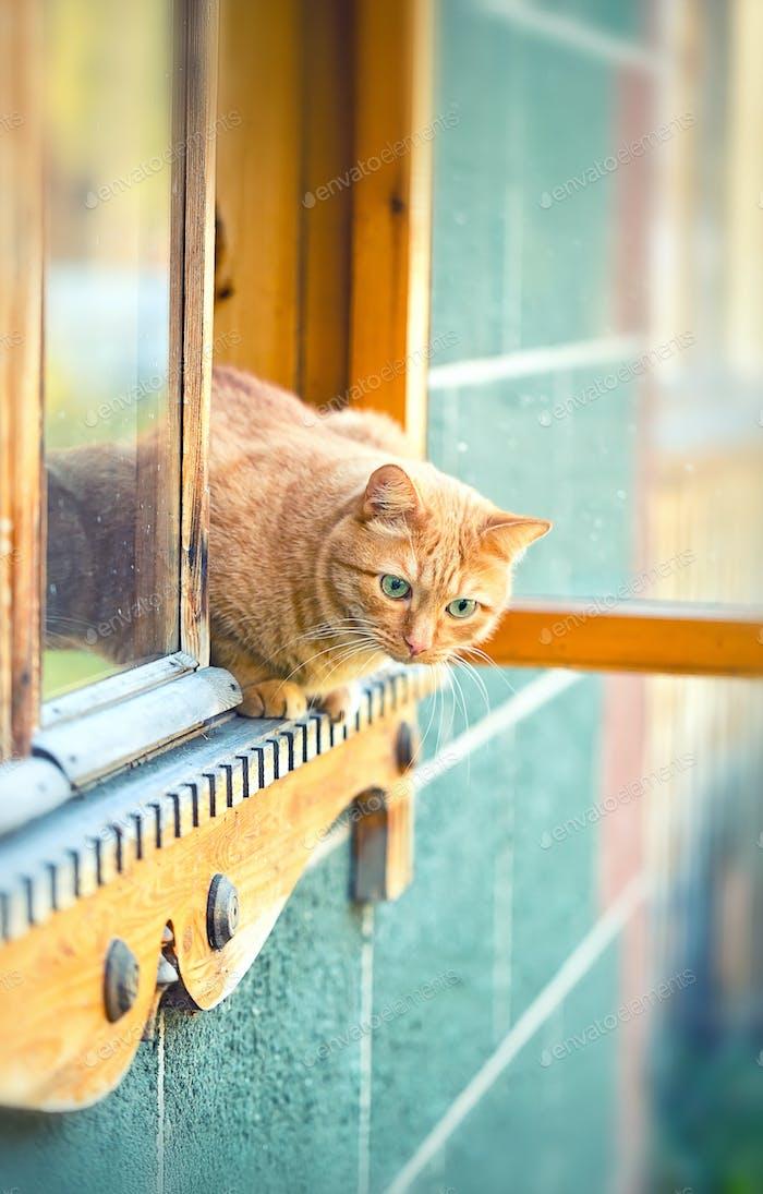 orange cat in the window