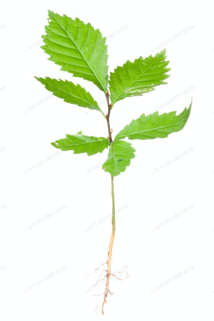 Young tree (hornbeam)