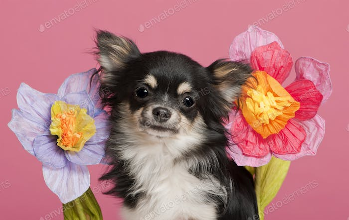 Chihuahua (5 years old)