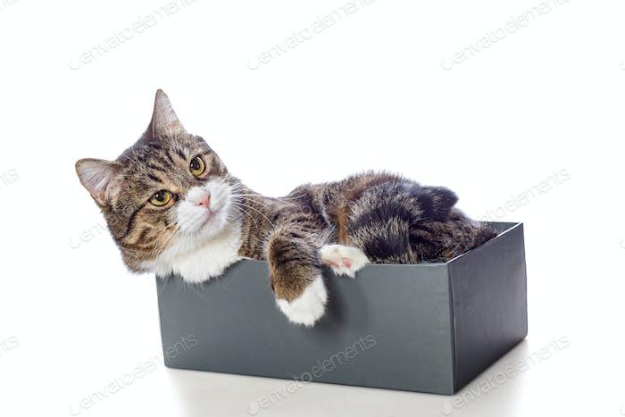 Schöne graue Katze in einer Box liegend