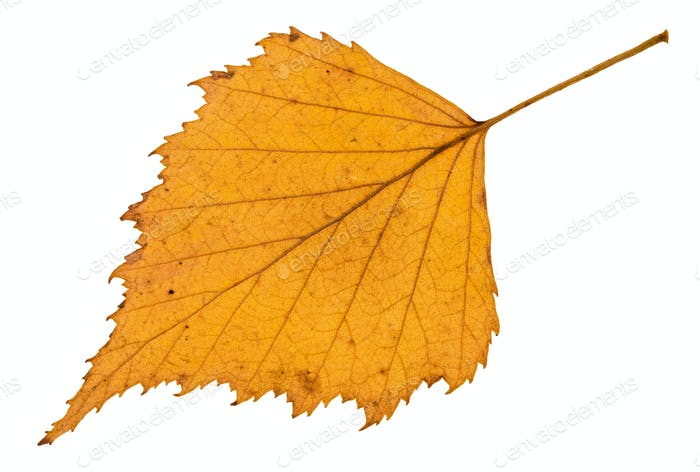 back side of fallen yellow leaf of birch tree