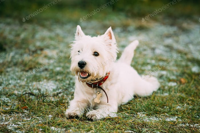 West Highland White Terrier - Westie, Westy Dog Play in Autumn G