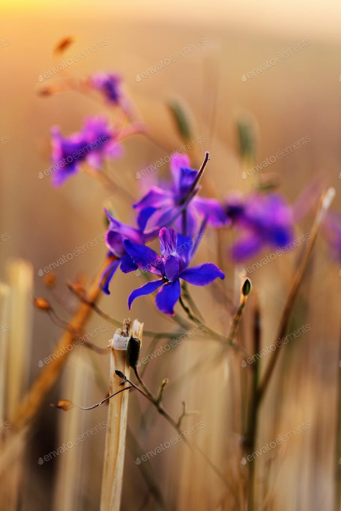 small purple flowers on a field at sunset