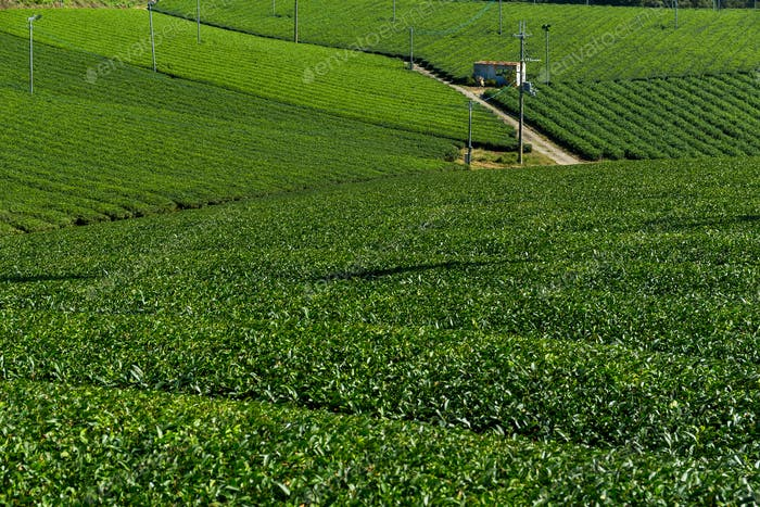 Tea plantation farm in Kyoto