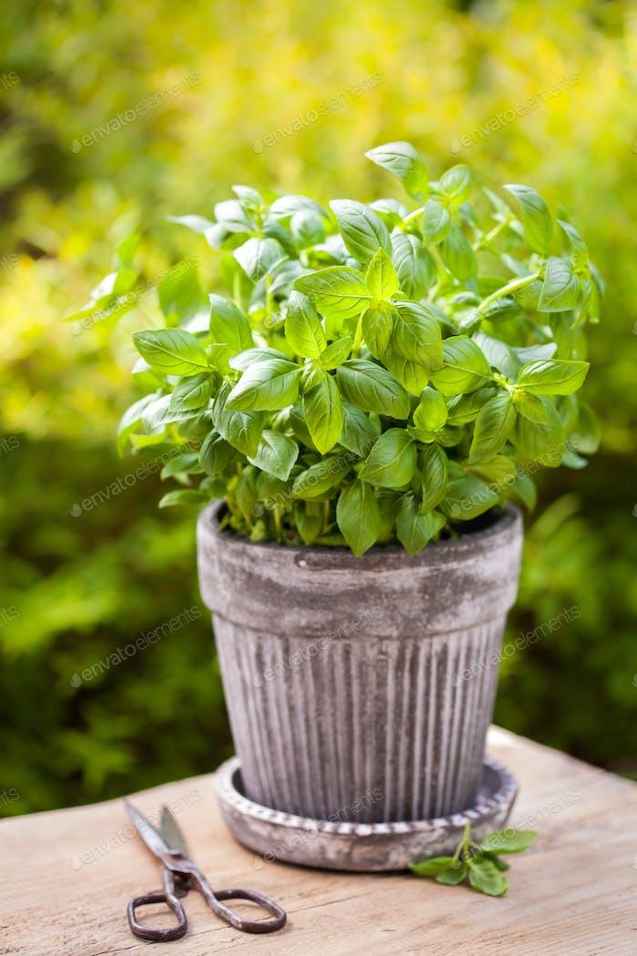 fresh basil herb in flowerpot in garden