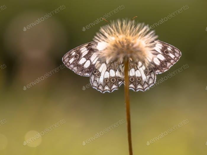 Underside Marbled white butterfly symmetrical on flower