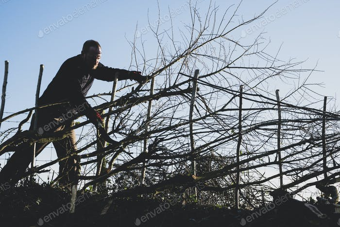 Bearded man building a traditional hedge using wooden pleachers.
