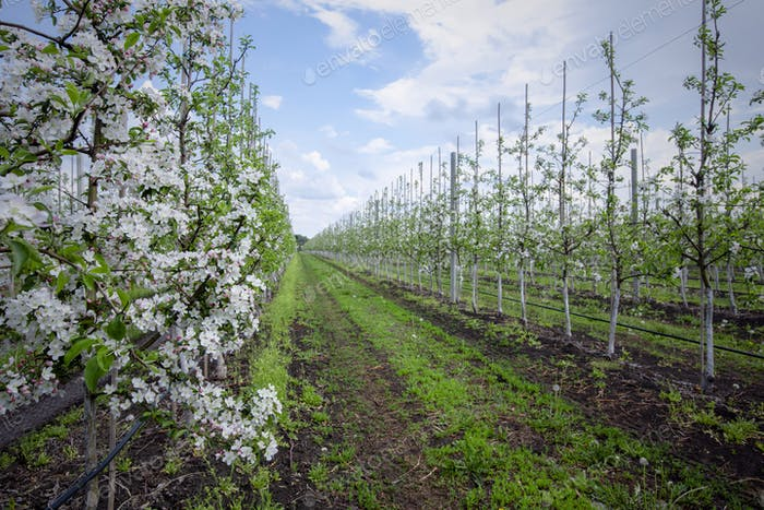 Gardening and farming in spring. White flowers on young trees of seedlings