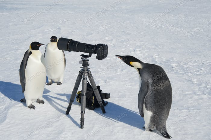Curious Emperor penguin peering through a viewfinder of a camera on a tripod on the ice.
