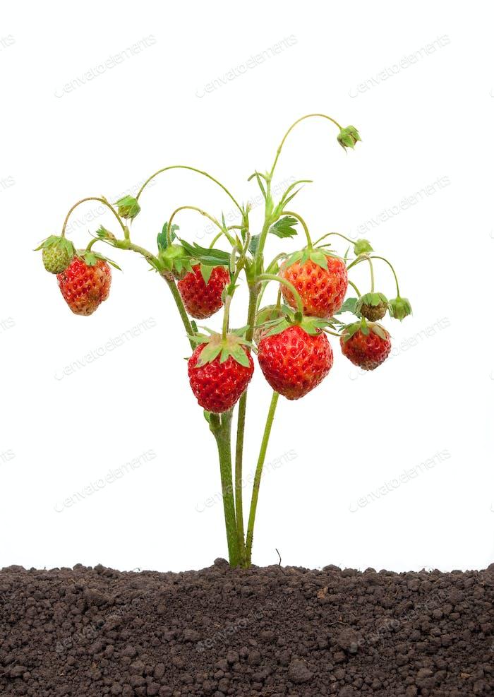 Erdbeere wächst aus dem Boden