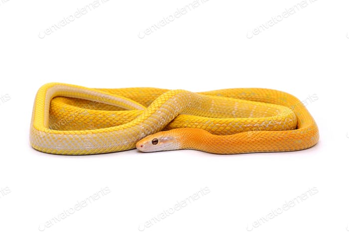 Rat snake albino isolated on white background