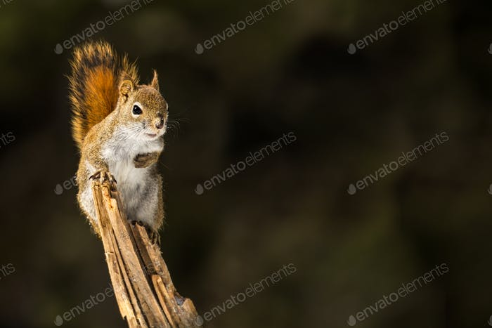 American Red Squirrel - Tamiasciurus hudsonicus