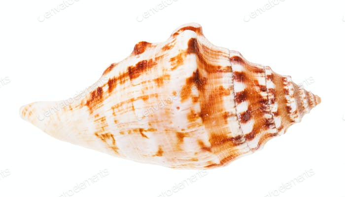 conch of sea mollusk isolated on white