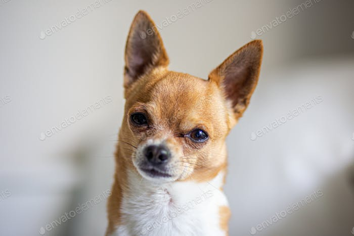 Portrait of brown chihuahua