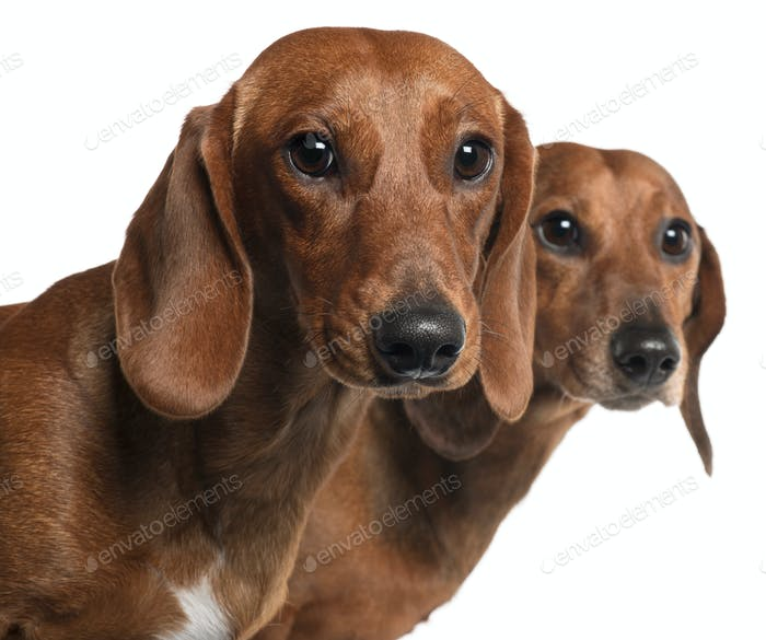 Close-up of Dachshunds, 4 years old and 7 months old, in front of white background