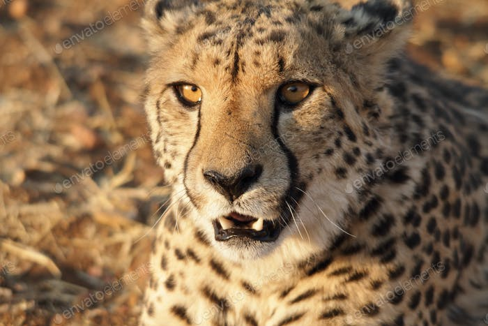 Very closeup of cheetah