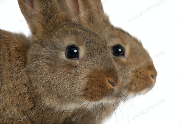Close-up of two rabbits head against white background