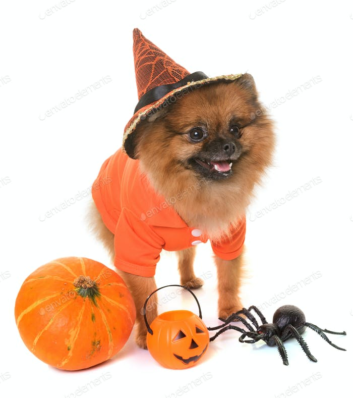 pomeranian spitz and halloween