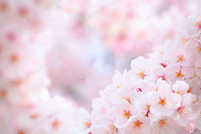 Japanische Kirschblume