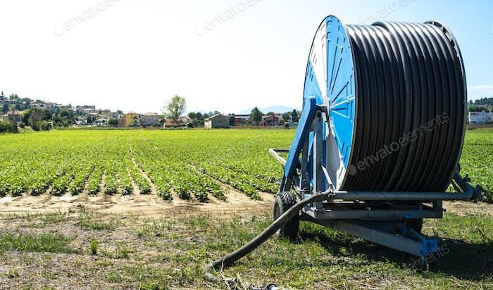 Bean plantation and watering hose.  Small green bean plants in r