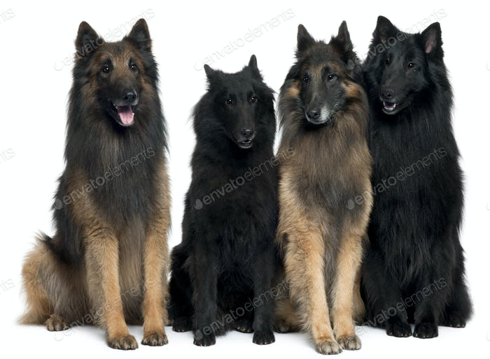 Belgian Shepherd Dogs in front of white background