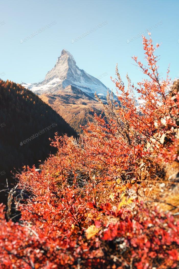 Matterhornspitze und roter Busch