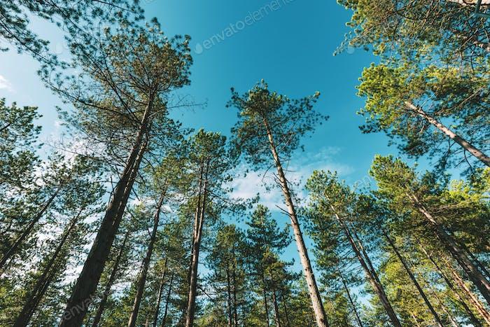 Kiefernwald in der Region Zlatibor in Serbien