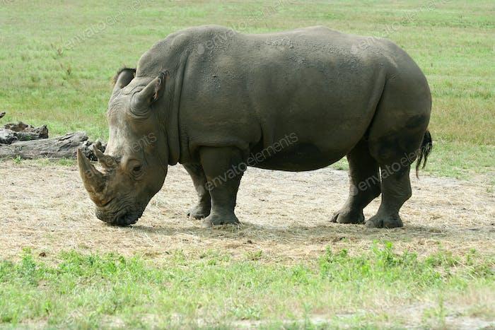 White Rhinoceros on the savannah