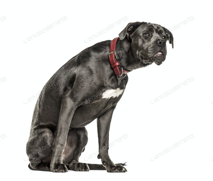 Cane corso looking attentively, isolated on white