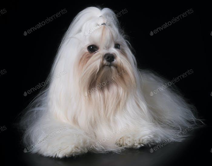 maltese dog in studio
