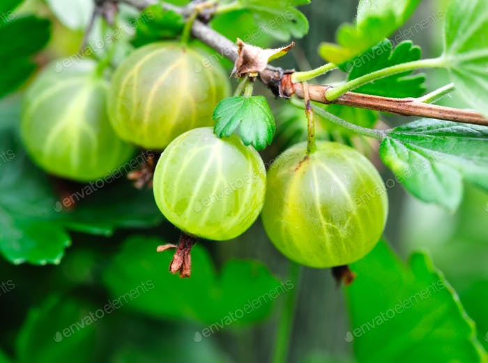 Grows ripe gooseberries on a branch