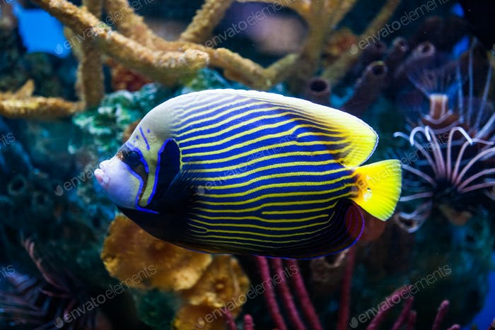 Imperial Anglefish Closeup in Saltwater Aquarium