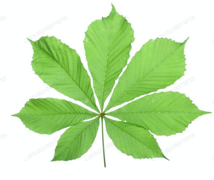 Single horse chestnut leaf