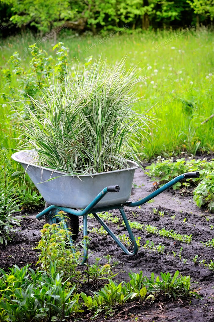 Wheelbarrow full with decorative sedges (Reed canary grass) for