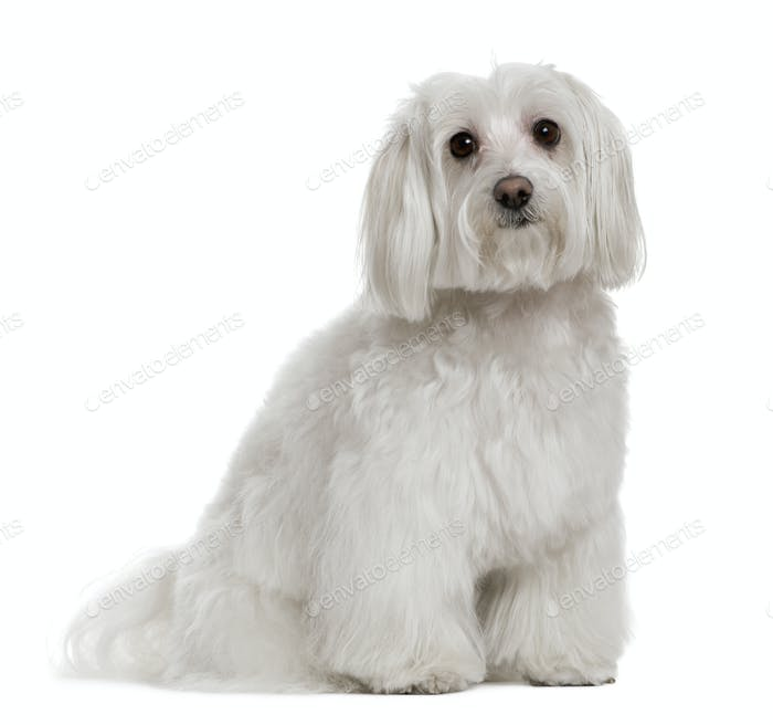 Maltese, 3 years old, in front of white background