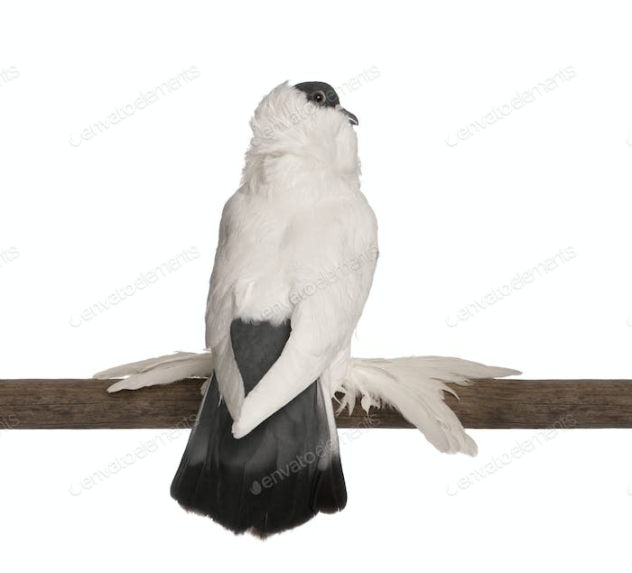 German helmet with feathered feet pigeon perched on stick in front of white background