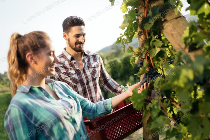 People harvesting grapes at winegrower vineyard