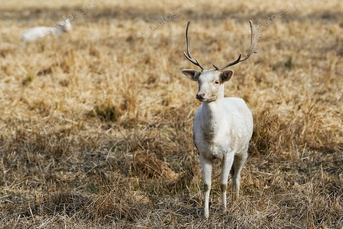 Herd of white fallow deer (Dama dama) in nature