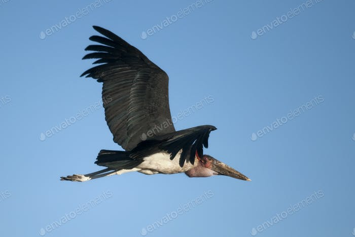 Marabou Stork, Serengeti National Park, Serengeti, Tanzania, Africa