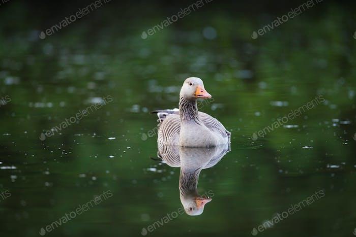 Greylag Goose in Water
