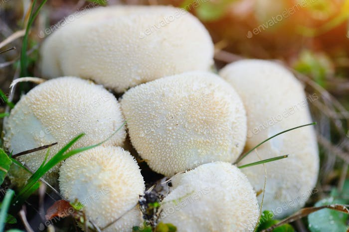Young puffballs mushroom in the autumn forest close-up view