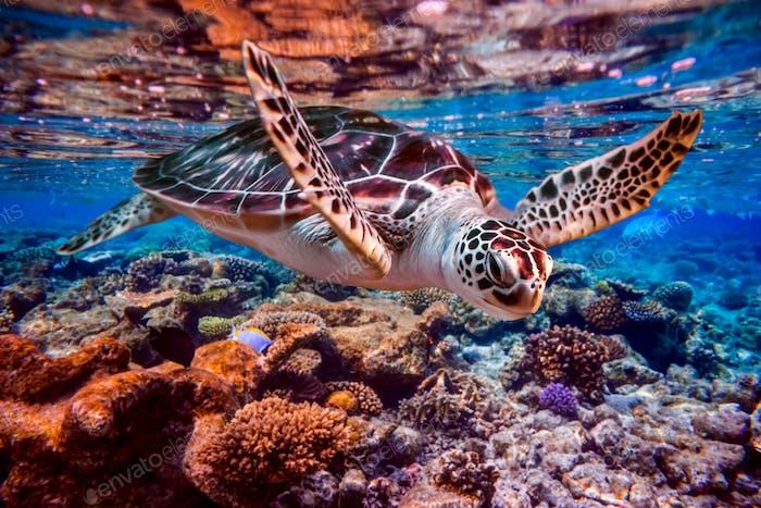 Tortuga Mar nada bajo el agua en el Fondo de los arrecifes de coral