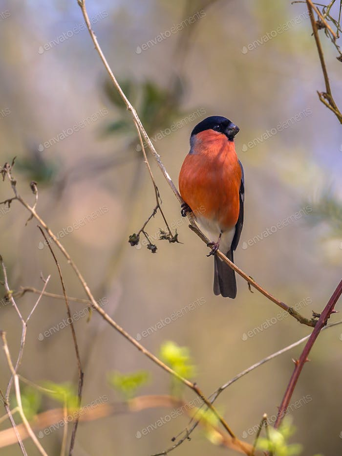 Bullfinch on twig