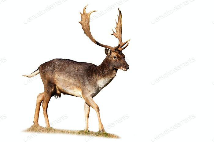 Fallow deer stag walking on meadow isolated on white background