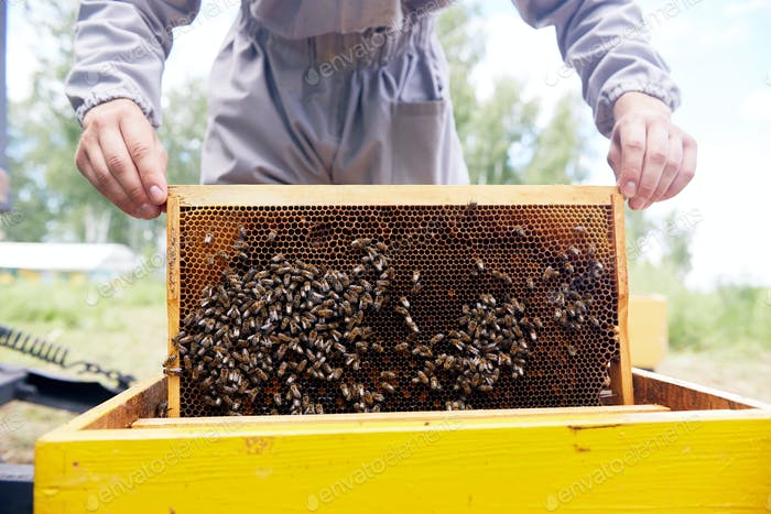 Apiarist Taking out Hive Frames