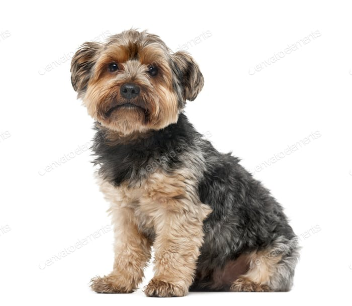 Yorshire terrier in front of a white background